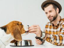 man feeding cute beagle with dog food